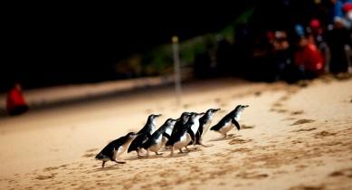 Phillip Island Penguin Parade Day Tour